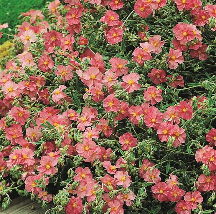 Napvirág rózsaszín