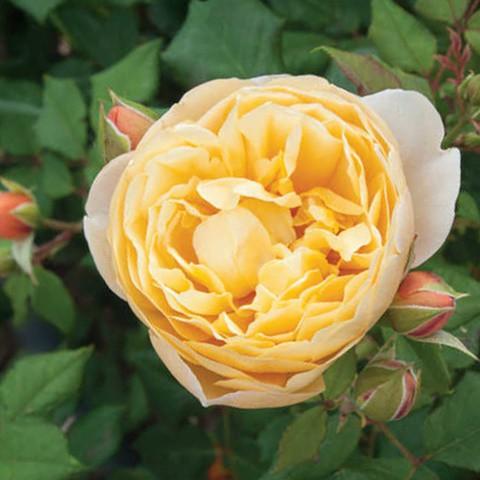Sárga virágágyi romantikus rózsa 'Olivera'