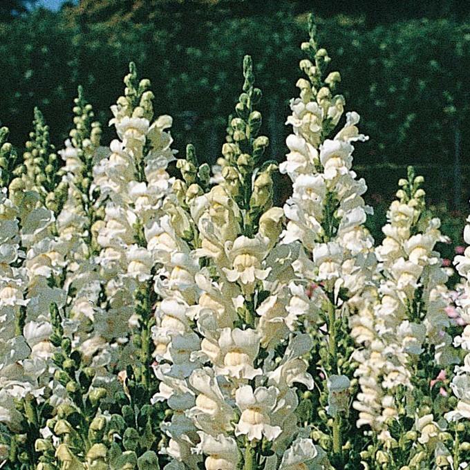 Oroszlánszáj - fehér