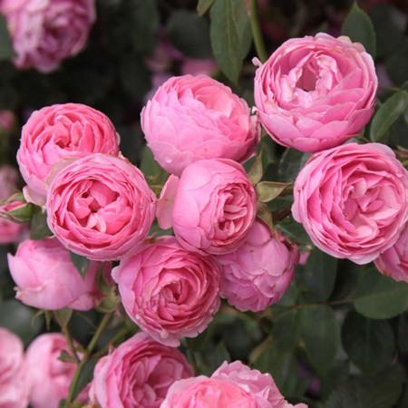 Rózsaszín bokor rózsa - 'Raubritter'