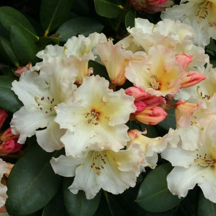 Rhododendron 'Monarch'