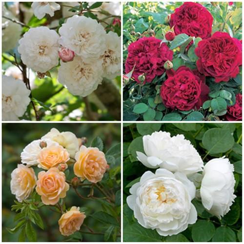 Romantikus kert - bokor és futó rózsák 4 db