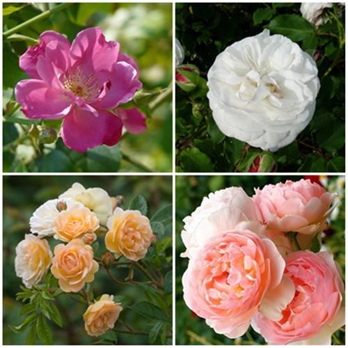 Romantikus kert - fehér-vegyes rózsák2. 4 db