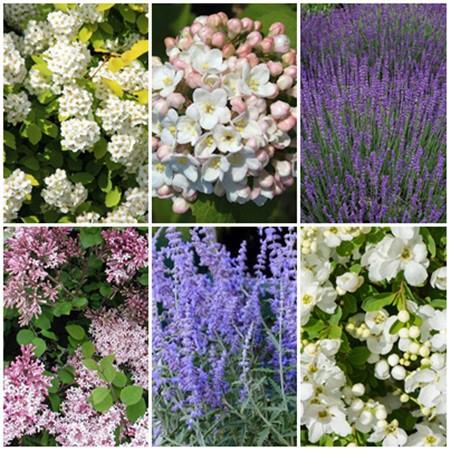 Romantikus kert - illatos cserjék 6 db