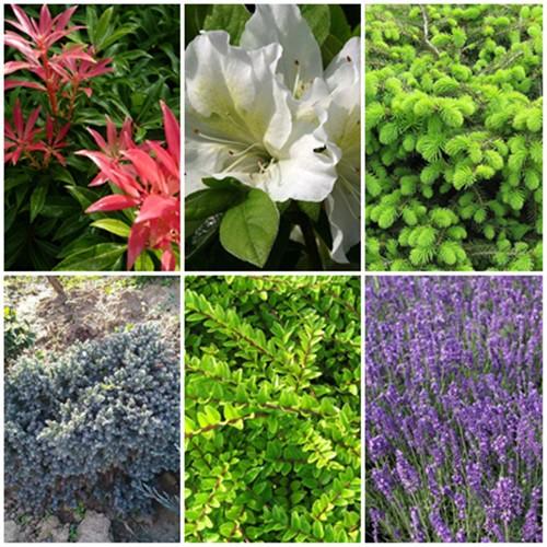 Romantikus kert - örökzöldek2. 6 db