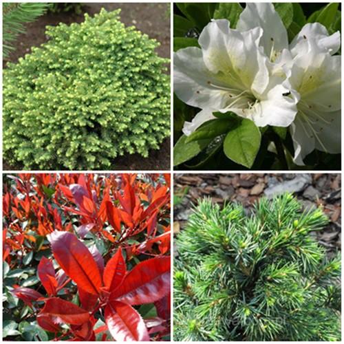 Romantikus kert - örökzöldek2. 4 db