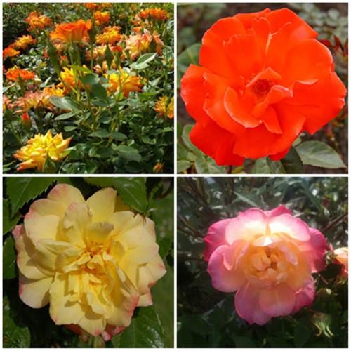 Romantikus kert - törpe rózsák 4 db