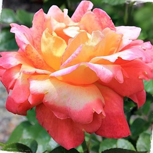Sárga-rózsaszín ágyásrózsa - 'Ros'Odile'
