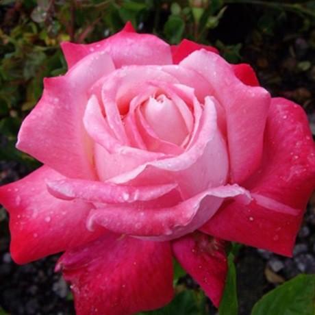 Halványlila-lila ágyásrózsa - 'Abigaile'