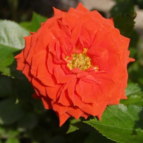 Narancsszínű ágyásrózsa - 'Alcazar'