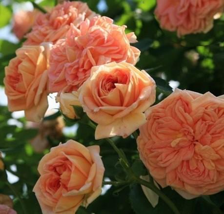 Rózsaszín-narancsos futórózsa - 'Alchymist'