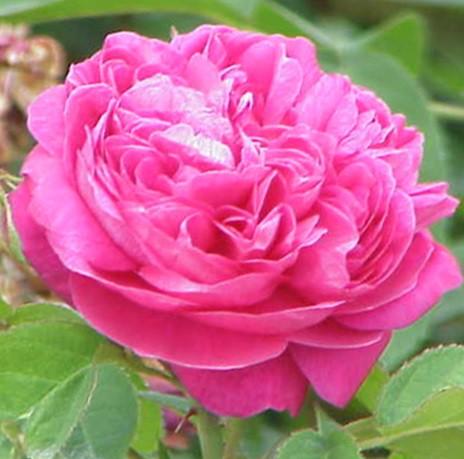 Kármin-rózsaszín futórózsa - 'Alexandre Girault'