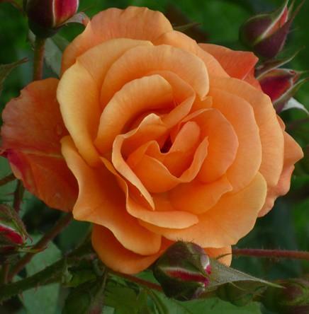 Narancssárga  ágyásrózsa - 'Alison'