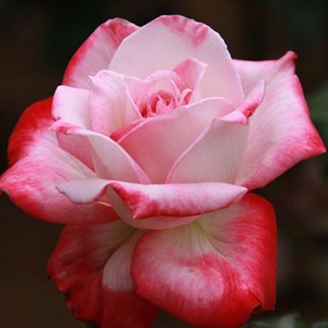 Fehér-rózsaszín tearózsa - 'Altesse 75'