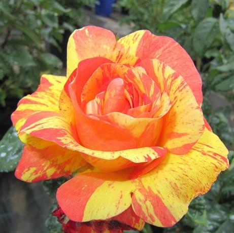 Vörös-sárga tearózsa - 'Ambossfunken'