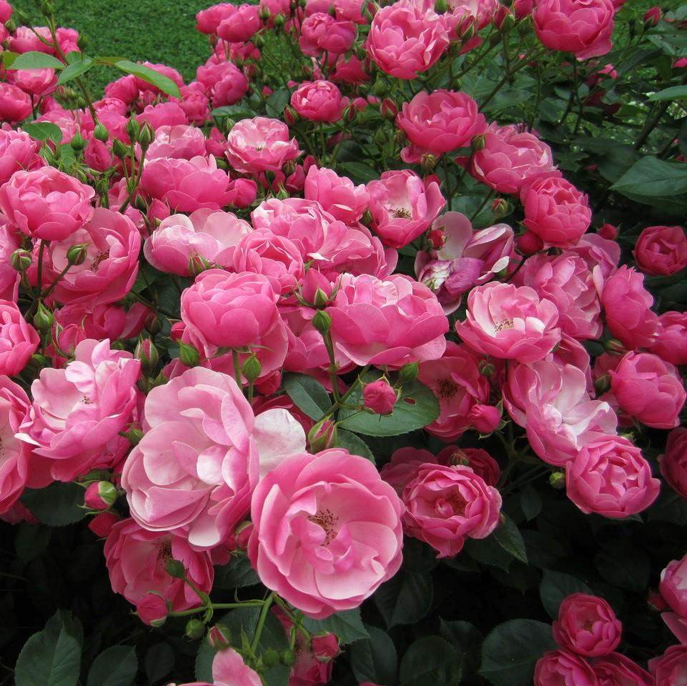 Rózsaszín bokor rózsa - 'Angela'