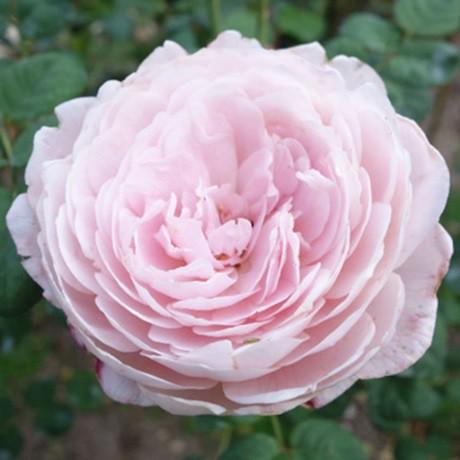 Rózsaszín romantikus rózsa - 'Auslight''