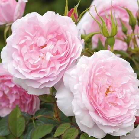 Halványrózsaszín romantikus rózsa - 'Ausorts'