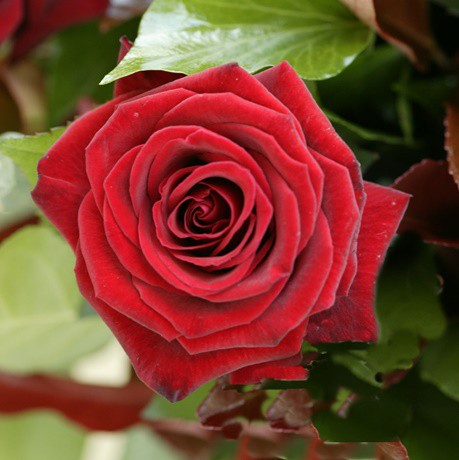 Vörös tearózsa - 'Black Velvet''