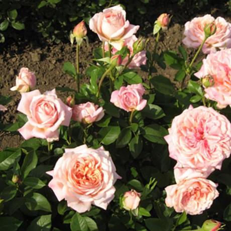 Rózsaszín tearózsa - 'Budatétény'