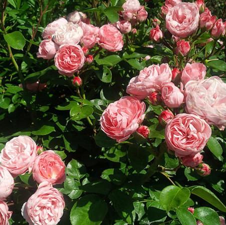 Barackrózsaszín, romantikus angol rózsa - 'Candy Rain'