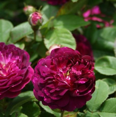 Sötét ibolyalila történelmi rózsa - 'Cardinal de Richelieu'