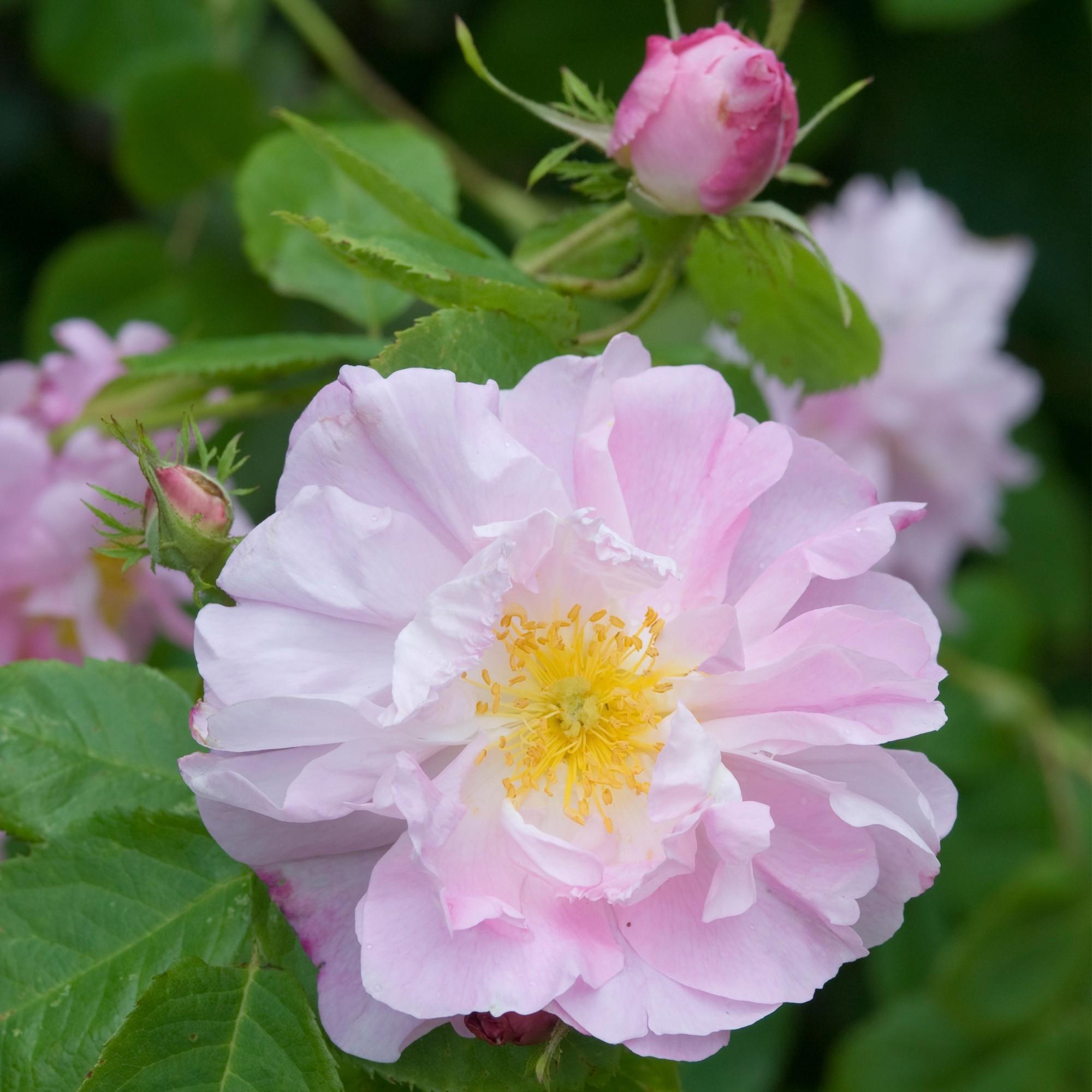 Halvány rózsaszín, történelmi, angol bokor rózsa - 'Celsiana'