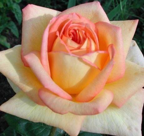 Sárga-rózsaszín tearózsa - 'Centennial Star'