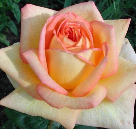 dcc8e45cc9 Sárga-rózsaszín tearózsa - 'Centennial Star' | Gardenpack.hu
