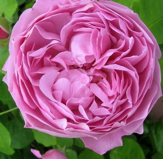 Rózsaszín romantikus rózsa 'Charles Rennie Mackintosh'
