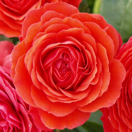 Élénk piros törperózsa - 'Chica Flower Circus'