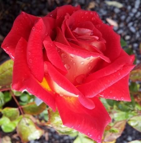Sárga-piros törperózsa - 'Cleopatra'