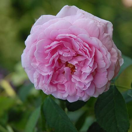 Rózsaszínű történelmi rózsa - 'Comte de Chambord'