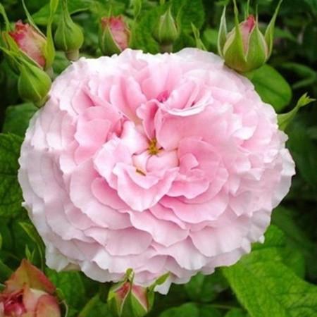 Rózsaszín ágyásrózsa - 'Csíkszereda'