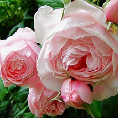 Halvány rózsaszín futórózsa - 'Deléri'