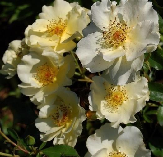 Sárga, talajtakaró rózsa - 'Deldog'