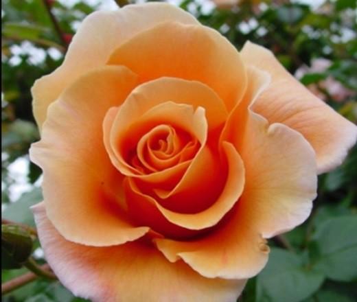 Narancs-rózsaszín ágyásrózsa - 'Diamant'