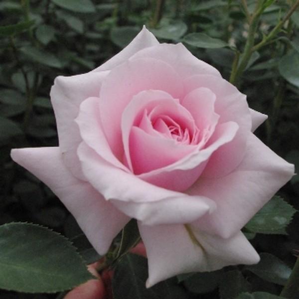 Rózsaszín bokor krózsa - 'Felberg's Rosa Durschki'