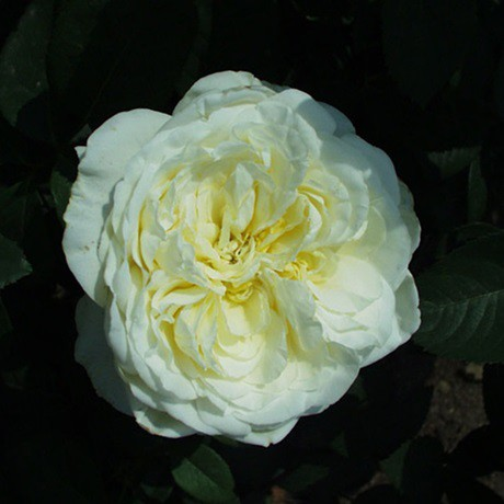 Fehér tearózsa - 'Erény'
