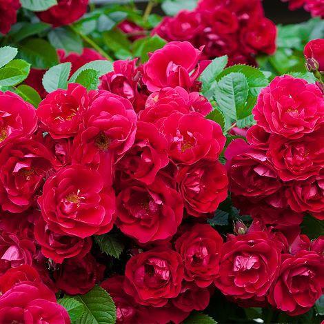 Piros talajtakaró rózsa - 'Fairy Rouge'