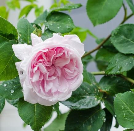 Halvány rózsaszín, sötétebb belsővel történelmi rózsa - 'Fantin-Latour'