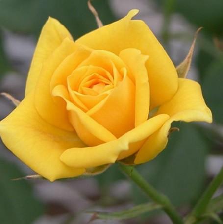 Sárga tearózsa - 'Frau E.Weigand'