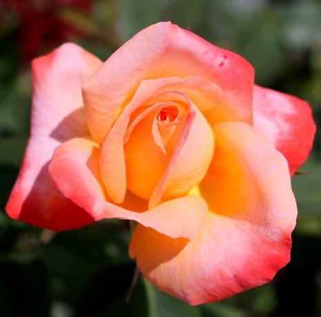 83d54e2456 Rózsaszín-sárga tearózsa - 'Frohsinn'' | Gardenpack.hu