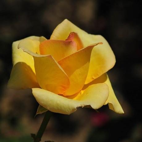 Sárga tearózsa - 'Gold Crown'