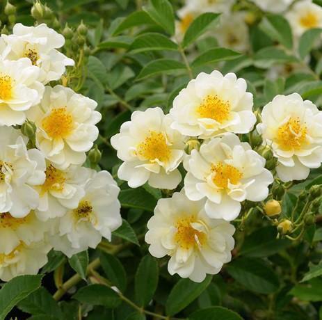 Krémfehér, sárga porzó, történelmi rózsa -'Goldfinch'