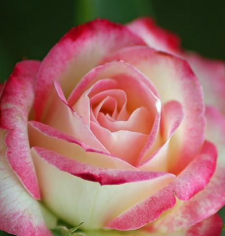 Fehér-rózsaszín sziromszéllel, ágyásrózsa - 'Händel'