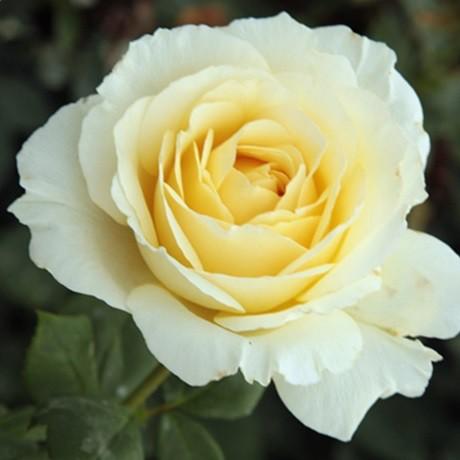Fehér tearózsa - 'Iris Honey'