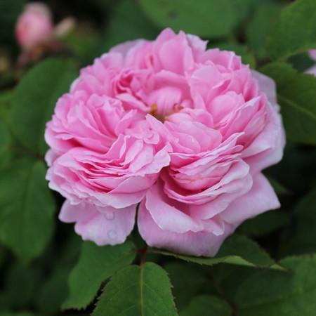Rózsaszínű történelmi rózsa - 'Jacques Cartier'