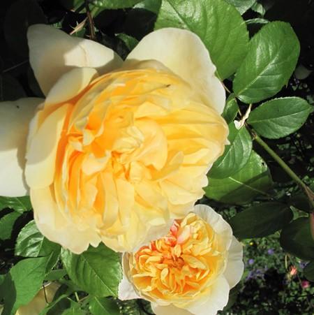 Sárga, romantikus rózsa 'Jayne Austin'