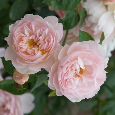 Lazacrózsaszín, romantikus rózsa- 'Lochinvar'